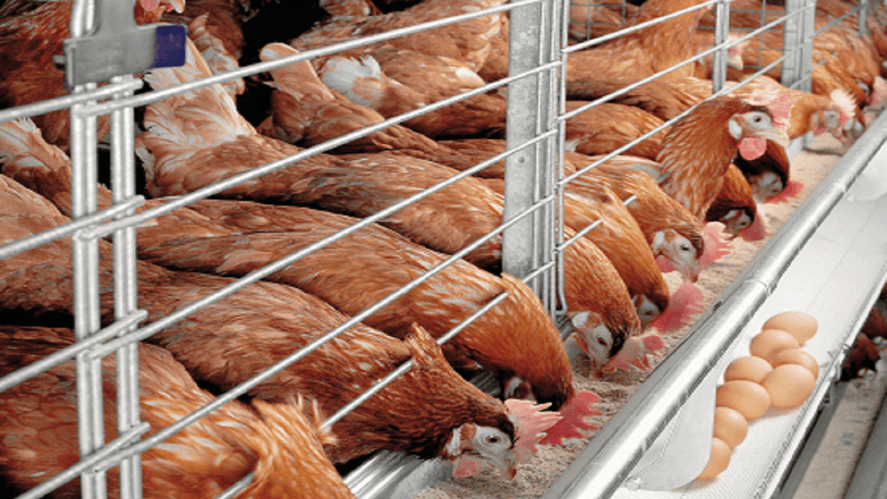 How To Start, Grow, And Establish A Very Profitable Poultry Farming Business In Nigeria
